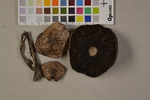 (Agaricus cupreobrunneus - O-F-75496)  @11 [ ] Unspecified (default): All Rights Reserved  Unspecified Unspecified