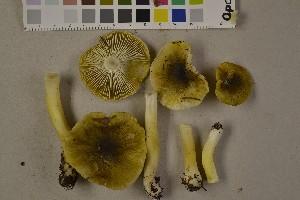 (Tricholoma viridilutescens - O-F-75511)  @11 [ ] Unspecified (default): All Rights Reserved  Unspecified Unspecified