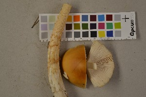 (Amanita crocea - O-F-75523)  @11 [ ] by-nc (2014) Siri Rui Natural History Museum, University of Oslo, Norway