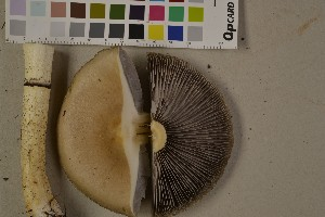 (Stropharia hornemannii - O-F-75550)  @11 [ ] by-nc (2014) Siri Rui Natural History Museum, University of Oslo, Norway