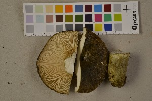 (Lactarius necator - O-F-75555)  @11 [ ] by-nc (2014) Siri Rui Natural History Museum, University of Oslo, Norway