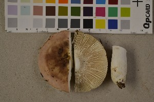 (Russula vesca - O-F-75579)  @11 [ ] by-nc (2014) Siri Rui Natural History Museum, University of Oslo, Norway