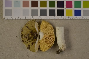 (Russula olivascens - O-F-75602)  @11 [ ] by-nc (2014) Siri Rui Natural History Museum, University of Oslo, Norway