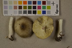 (Tricholoma aff. portentosum - O-F-75611)  @11 [ ] by-nc (2014) Siri Rui Natural History Museum, University of Oslo, Norway