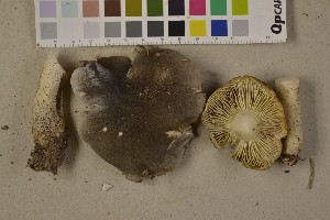 (Tricholoma saponaceum - O-F-75614)  @11 [ ] by-nc (2014) Siri Rui Natural History Museum, University of Oslo, Norway