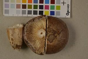 (Lactarius hysginus - O-F-75616)  @11 [ ] by-nc (2014) Siri Rui Natural History Museum, University of Oslo, Norway