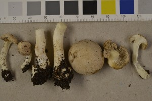 (Inocybe cf. melanopus - O-F-75657)  @11 [ ] by-nc (2014) Siri Rui Natural History Museum, University of Oslo, Norway