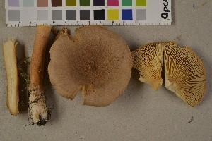 (Lactarius helvus - O-F-75680)  @11 [ ] by-nc (2014) Siri Rui Natural History Museum, University of Oslo, Norway