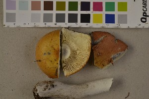 (Russula decolorans - O-F-75681)  @11 [ ] by-nc (2014) Siri Rui Natural History Museum, University of Oslo, Norway