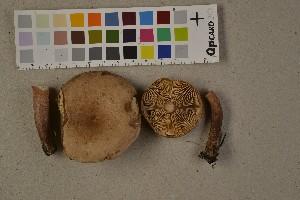 (Lactarius quietus - O-F-75685)  @11 [ ] by-nc (2014) Siri Rui Natural History Museum, University of Oslo, Norway