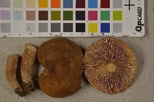 (Lactarius serifluus - O-F-75689)  @11 [ ] by-nc (2014) Siri Rui Natural History Museum, University of Oslo, Norway