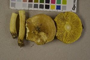 (Tricholoma frondosae - O-F-75709)  @11 [ ] by-nc (2014) Siri Rui Natural History Museum, University of Oslo, Norway