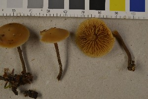 (Galerina sideroides - O-F-75737)  @11 [ ] by-nc (2014) Siri Rui Natural History Museum, University of Oslo, Norway
