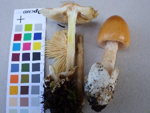 (Amanita flavescens - O-F-75121)  @11 [ ] by-nc (2014) Unspecified University of Oslo, Natural History Museum