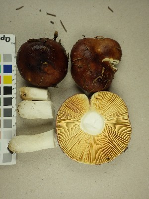 (Russula integra - NHMO-DFL-1090)  @11 [ ] by-nc-sa (2015) Unspecified University of Oslo
