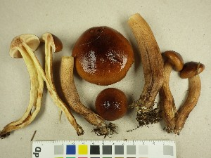 (Tricholoma - NHMO-DFL-1093)  @11 [ ] by-nc-sa (2015) Unspecified University of Oslo