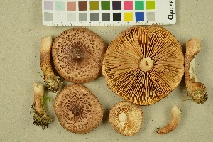 (Tricholoma vaccinum - NHMO-DFL-1037)  @11 [ ] by-nc-sa (2015) Unspecified University of Oslo