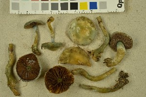 (Stropharia pseudocyanea - NHMO-DFL-1079)  @11 [ ] by-nc-sa (2015) Unspecified University of Oslo