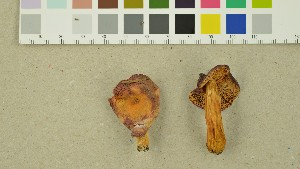 (Russula luteotacta - O-DFL-1373)  @11 [ ] by-nc-sa (2015) Unspecified University of Oslo, Natural History Museum