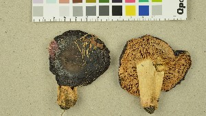 (Russula vinosobrunnea - O-DFL-1379)  @11 [ ] by-nc-sa (2015) Unspecified University of Oslo, Natural History Museum
