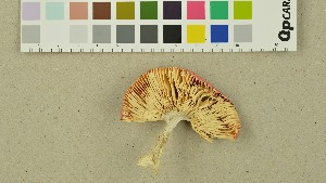 (Russula zvarae - O-DFL-1384)  @11 [ ] by-nc-sa (2015) Unspecified University of Oslo, Natural History Museum
