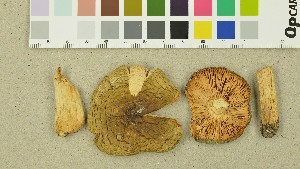(Russula innocua - O-DFL-1386)  @11 [ ] by-nc-sa (2015) Unspecified University of Oslo, Natural History Museum