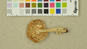 (Amanita nivalis - O-DFL-1390)  @11 [ ] CreativeCommons - Attribution Non-Commercial Share-Alike (2015) Unspecified University of Oslo, Natural History Museum