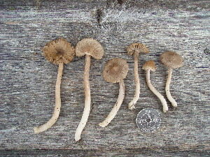 (Inocybe jacobi - NHMO-DFL-827)  @11 [ ] by-nc-sa (2015) Unspecified The Norwegian Institute for Nature Research