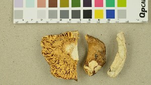 (Russula cremeoavellana - O-DFL-1332)  @11 [ ] by-nc-sa (2015) Unspecified University of Oslo, Natural History Museum