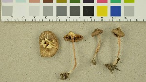 (Inocybe involuta - O-DFL-1340)  @11 [ ] CreativeCommons - Attribution Non-Commercial Share-Alike (2015) Unspecified University of Oslo, Natural History Museum