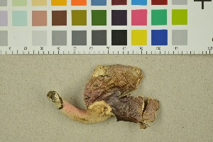 (Russula lilacea - O-F-251585)  @11 [ ] by-nc-sa (2016) Unspecified University of Oslo, Natural History Museum