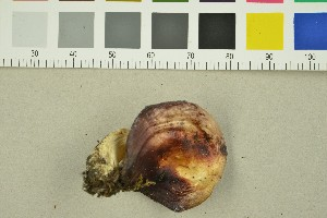 (Russula sp. AM01 - O-F-260112)  @11 [ ] by-nc-sa (2015) Unspecified University of Oslo, Natural History Museum