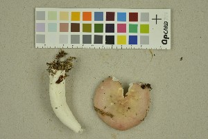 (Russula font-queri - O-F-260259)  @11 [ ] by-nc-sa (2016) Unspecified University of Oslo, Natural History Museum