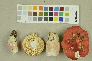 (Russula sanguinea - O-F-260322)  @11 [ ] by-nc-sa (2016) Unspecified University of Oslo, Natural History Museum
