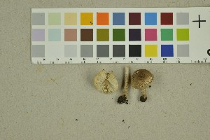 (Lepiota echinella - O-F-260351)  @11 [ ] by-nc-sa (2016) Unspecified University of Oslo, Natural History Museum