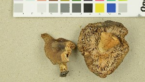 (Russula amoenolens - O-DFL-1395)  @11 [ ] by-nc-sa (2015) Unspecified University of Oslo, Natural History Museum