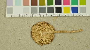 (Amanita olivaceogrisea - O-DFL-1403)  @11 [ ] by-nc-sa (2015) Unspecified University of Oslo, Natural History Museum