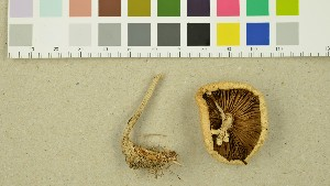 (Agrocybe praecox - O-DFL-1404)  @11 [ ] by-nc-sa (2015) Unspecified University of Oslo, Natural History Museum