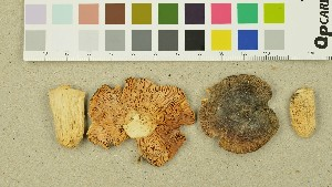 (Russula galochroa - O-DFL-1406)  @11 [ ] by-nc-sa (2015) Unspecified University of Oslo, Natural History Museum