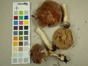 (Hebeloma theobrominum - NHMO-DFL-663)  @11 [ ] by-nc (2015) Unspecified University of Oslo, Natural History Museum