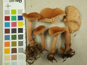 (Lactarius tabidus - NHMO-DFL-670)  @11 [ ] CreativeCommons - Attribution Non-Commercial (2015) Unspecified University of Oslo, Natural History Museum