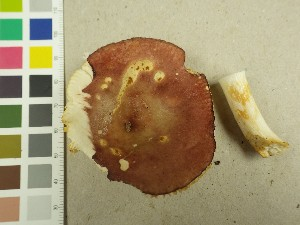 (Russula versicolor - NHMO-DFL-698)  @11 [ ] by-nc (2015) Unspecified University of Oslo, Natural History Museum
