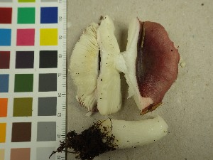 (Russula atrorubens - NHMO-DFL-706)  @11 [ ] by-nc (2015) Unspecified University of Oslo, Natural History Museum