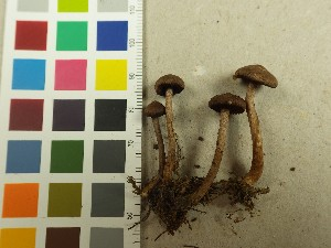 (Inocybe cincinnata - NHMO-DFL-714)  @11 [ ] by-nc (2015) Unspecified University of Oslo, Natural History Museum