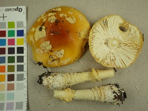 (Amanita muscaria - NHMO-DFL-722)  @11 [ ] by-nc (2015) Unspecified University of Oslo, Natural History Museum