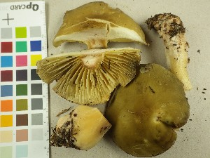 (Tricholoma saponaceum - NHMO-DFL-731)  @11 [ ] by-nc (2015) Unspecified University of Oslo, Natural History Museum