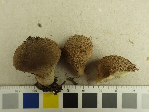 (Lycoperdaceae - NHMO-DFL-733)  @11 [ ] by-nc (2015) Unspecified University of Oslo, Natural History Museum