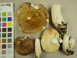 (Russula sp. PK02 - NHMO-DFL-737)  @11 [ ] by-nc (2015) Unspecified University of Oslo, Natural History Museum