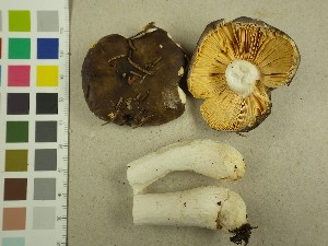 (Russula sp. PK01 - NHMO-DFL-740)  @11 [ ] by-nc (2015) Unspecified University of Oslo, Natural History Museum
