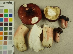 (Russula sp - NHMO-DFL-741)  @11 [ ] by-nc (2015) Unspecified University of Oslo, Natural History Museum